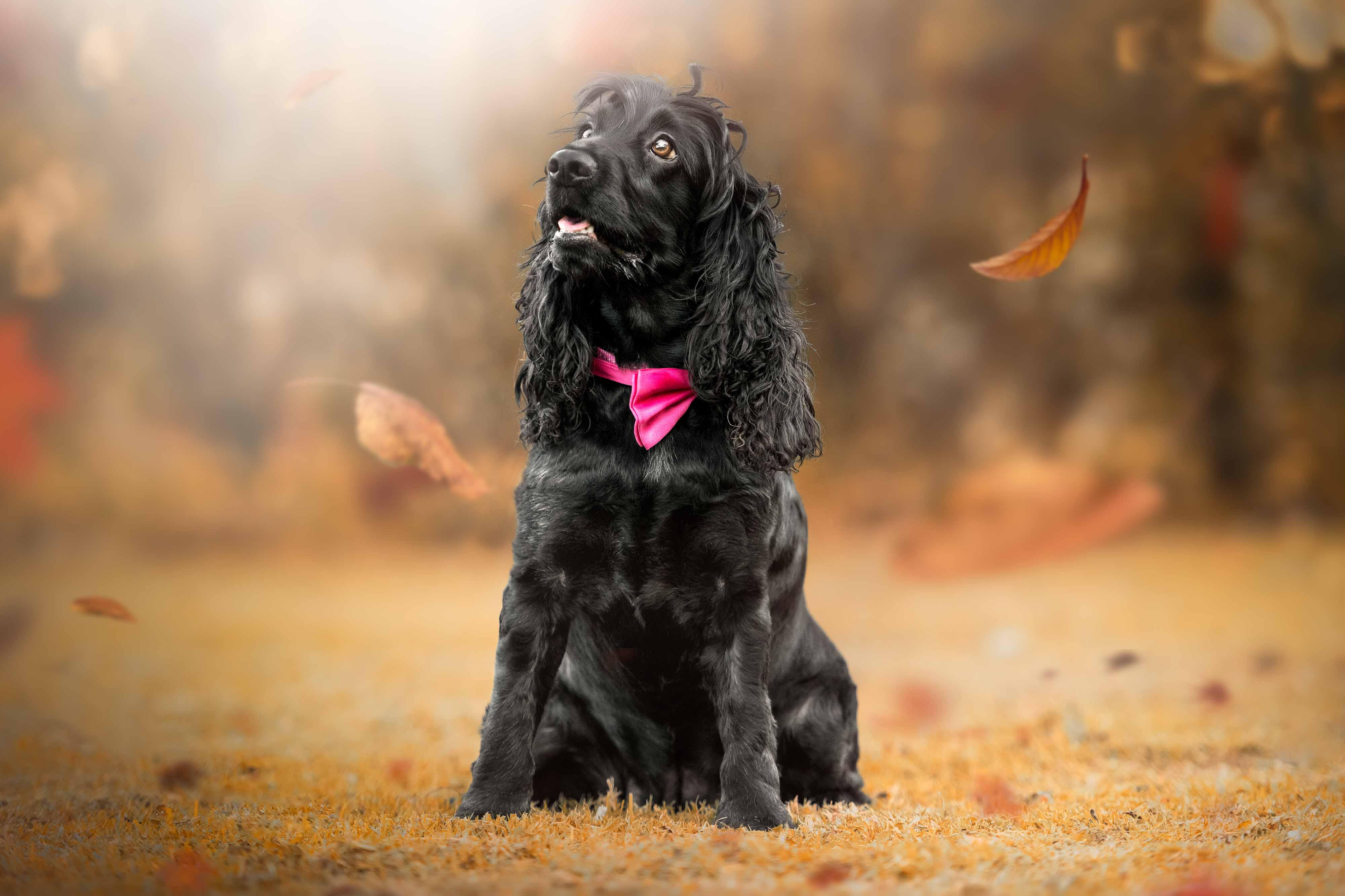 https://www.melissapohlphotography.com/wp-content/uploads/Black-spaniel-in-autumn.jpg